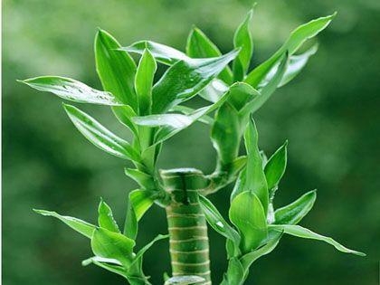 富贵竹养殖方法和注意事项:花开富贵 竹报平安