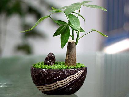 发财树的养殖方法和注意事项:巧手栽植好运发财树