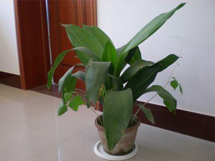 客厅摆放什么植物好?根据需求来选择