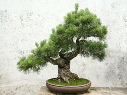 盆景植物怎么养?细心呵护 诗画常在