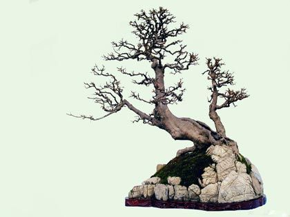 适合做盆景的植物:四个方面看树种选择