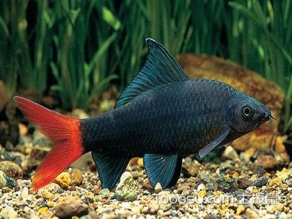 客廳風水魚種類的選擇
