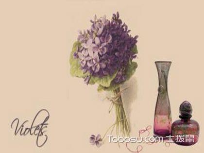 紫罗兰养护要点,耐阴不耐寒