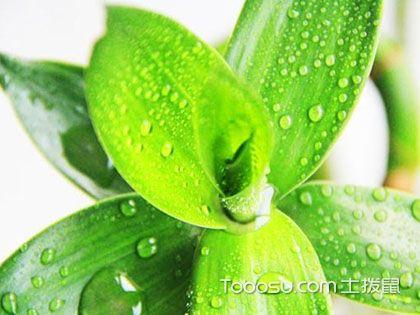 富贵竹怎么水养?爱好花草人士的经验之谈