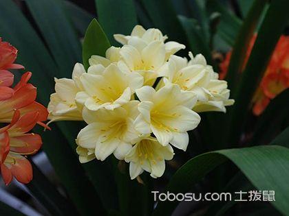 君子兰品种有哪些?爱花还要更懂花