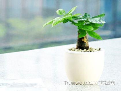 发财树寓意及摆放位置大揭秘,招财进宝就是如此容易!