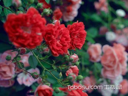 玫瑰玫瑰我爱你,养护指南让家浪漫满屋