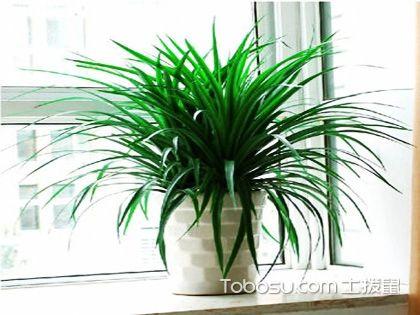 龙血树的养殖方法和注意事项,放置家里堪比空气净化器!