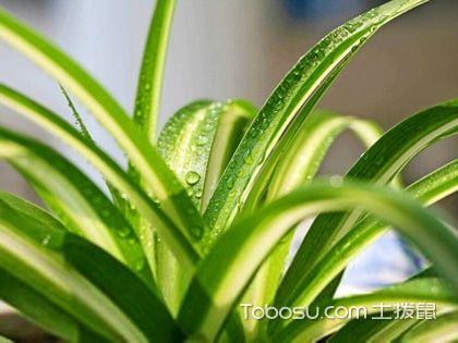 家养吊兰指南,垂挂植物带来别致美感