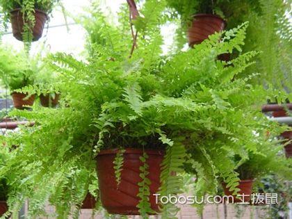 你的家需要坚强小植物,波斯顿蕨养护指南来袭!