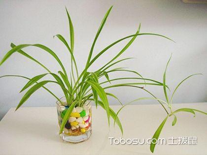 水培吊兰怎么养?详解种植方法