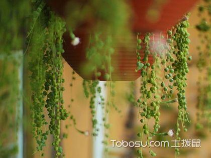 珍珠吊蘭的養殖方法,給室內養一片綠綠的春天吧!