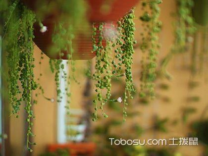 吊蘭的種類有哪些?每一種都是綠色的奇跡