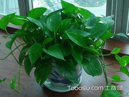綠蘿吊蘭適合放在哪里養?家有養殖的看過來!
