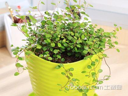 千叶吊兰的养殖方法和注意事项,把绿色带回家!