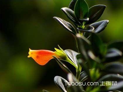 金魚吊蘭的種類,哪種姿態更美?