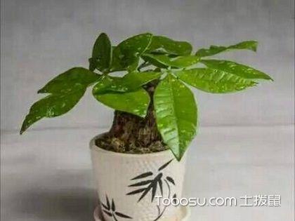 发财树的养殖方法,仔细了解轻松种植盆栽!