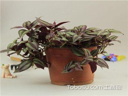"""紫色吊蘭的種類及圖片,聽說這種""""紫""""很美"""