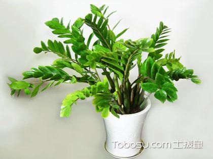 金錢樹怎么養才能不葉黃?掌握方法養殖更輕松!