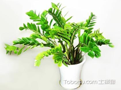 金钱树图片欣赏,新一代的室内观叶植物