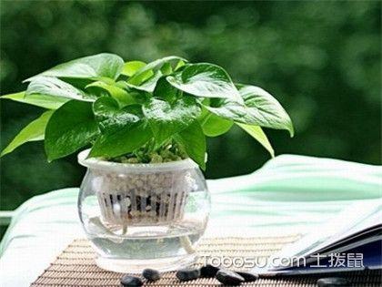 水培植物有哪些?反正滴水观音少不了!