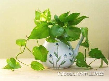 喜阴的室内植物,没有阳光也能养活