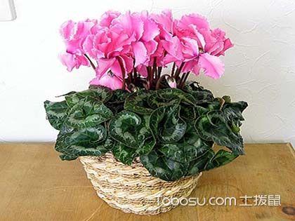 四大仙客来品种,给你更好的植物家居装饰