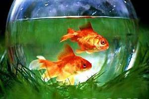 家庭怎样养金鱼视频_家养鱼-装修百科-土拨鼠网