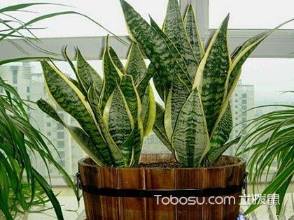 虎尾兰和虎皮兰的区别?不就是同一种植物吗!
