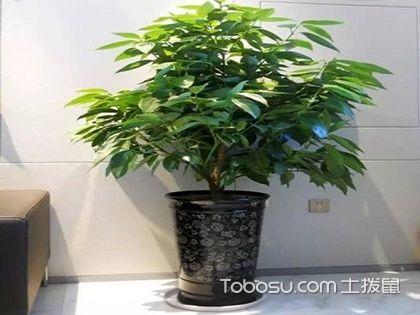 平安树的养殖方法和注意事项,了解这些轻松栽培!