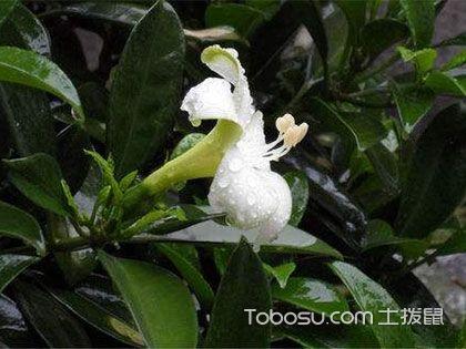 平安树开花吗?这就要看你怎么养了!