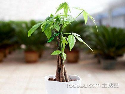 发财树病虫害防治,让发财树更旺盛