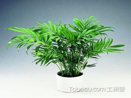 一分钟了解袖珍椰子的外观、作用、习性以及栽培方法