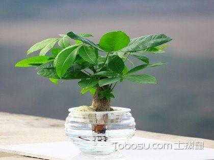 发财树摆放禁忌,你家的发财树摆对了吗?
