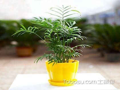 袖珍椰子的養殖方法和注意事項,植物小白看過來!