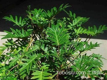 龟背竹的养殖方法和注意事项,龟背竹很难养吗?