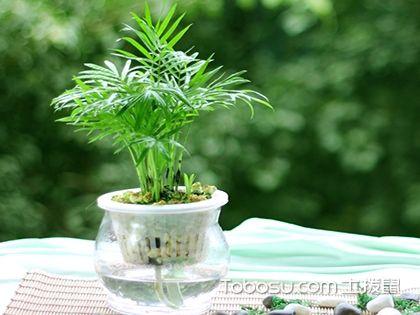 水培袖珍椰子的方法和養護要點,家里的天然加濕器!