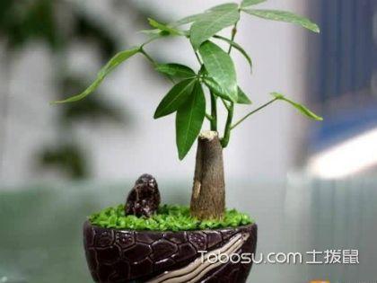 发财树有几种类型?室内理想的观叶植物