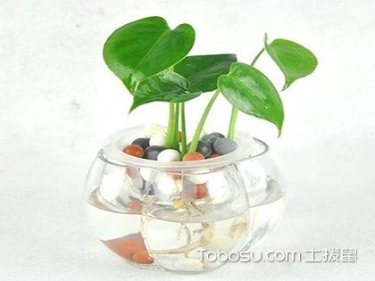 水培龜背竹的方法和要點,是綠植也是家里的裝飾品!