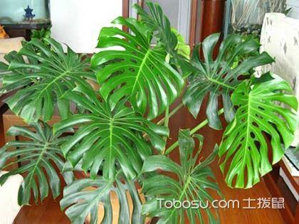掌握龟背竹的养护方法,让居室生机不断