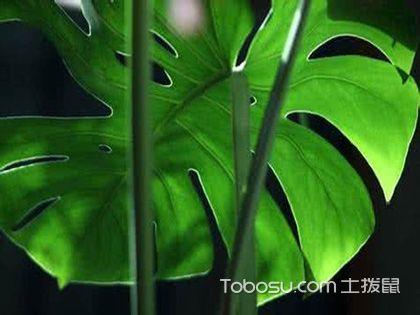 龜背竹可以放臥室嗎?要知道這些特點和作用