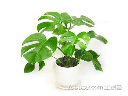 龟背竹品种大全,你家种的是哪一款呢?