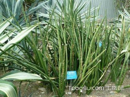柱叶虎尾兰怎么养,植物养护小技巧