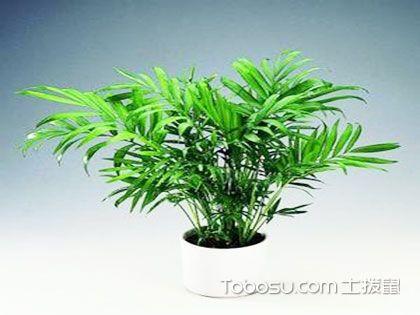 袖珍椰子和鳳尾竹很難區分?它們在外觀和價值上可完全不同
