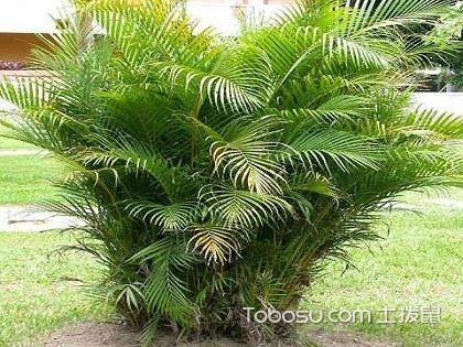 散尾葵,为生活增加绿意的必备植株!