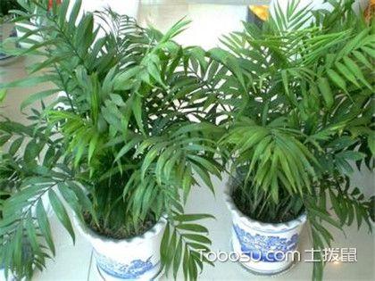 袖珍椰子叶子发黄怎么办,找出症结对症下药!