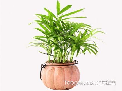 袖珍椰子的养殖方法,养殖时要注意些什么?