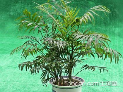 袖珍椰子的繁殖方法,播种与分株两大繁殖方式