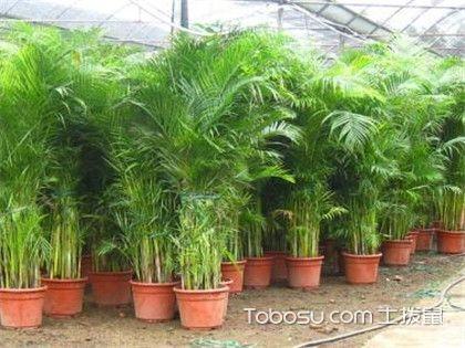 散尾葵和凤尾竹的区别,从根部辨识!