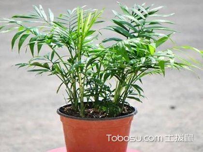 袖珍椰子与散尾葵的区别?...